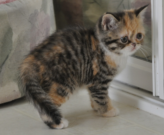 Golden Heart Kitten Gallery